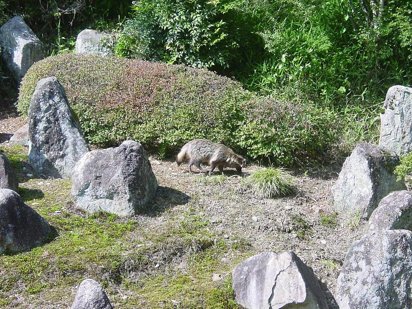 タヌキ1 2009/06/13