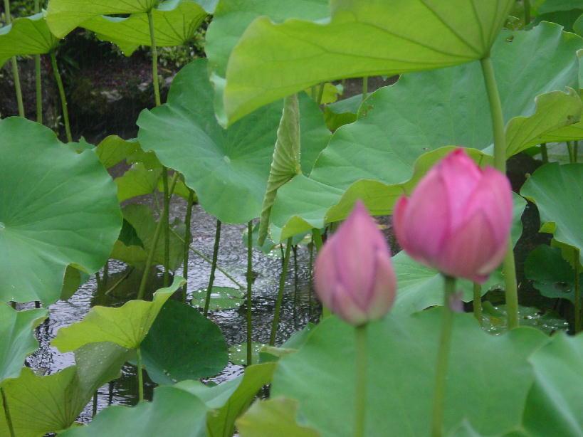 雨に打たれるハス 1  2009/07/26