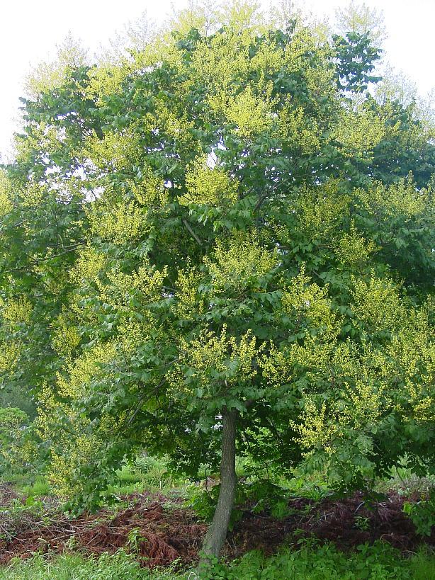 モクゲンジ センダンバノボダイジュ(栴檀葉の菩提樹)