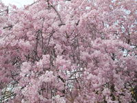 サクラ 2016/04/11 世田谷守山国民学校記念樹