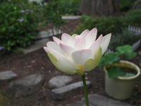 ハス(蓮華) 2010/07/06