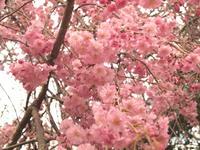 サクラ 世田谷区守山国民学校 疎開50S 記念植樹 2015/04/04