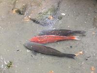 池の鯉 2011/01/11