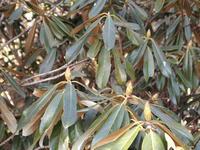 シャクナゲの花芽 2011/01/28