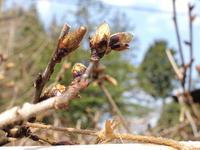 フジの花芽 2011/04/19