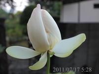 ハス 2011/07/17