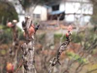 ボタンの花芽 2012/03/09