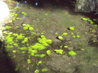 水中のコケ 2012/09/16