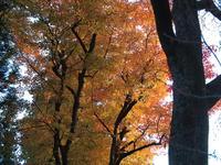 モミジ(カエデ) 2012/11/10