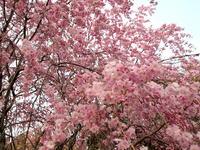 サクラ(世田谷代沢の守山国民学校疎開50th 記念植樹の桜 2014/04/09
